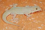 House Gecko (Hemidactylus flaviviridis), Socotra, Yemen.