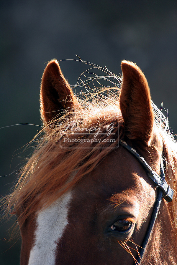 Brown horse with a white blaze with a bridle on