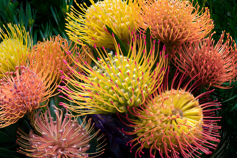 Close up of Protea flowers. Ali'i Kula Lavender Farm. Maui, Hawaii