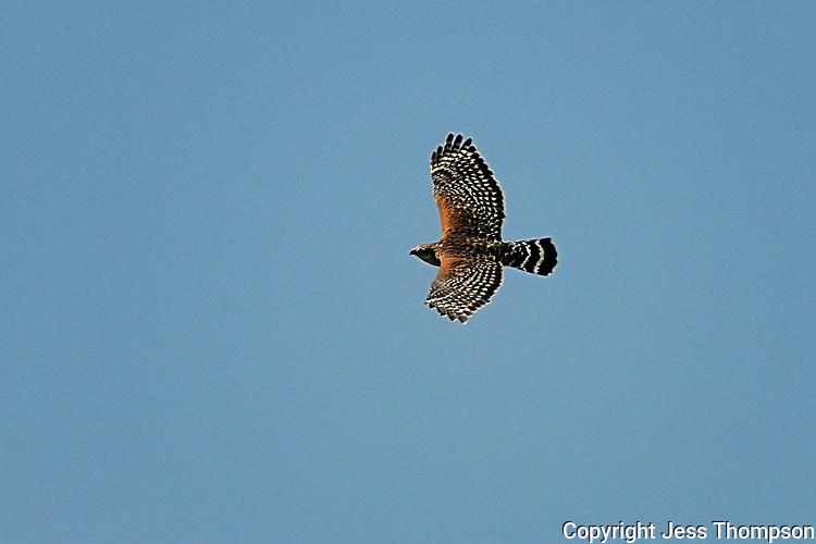 Red-shouldered Hawk, Brazos Bend, Texas