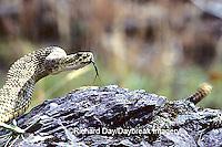 02915-00115 Western Rattlesnake (Crotalus viridis) MT