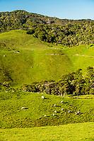 Coastal farmland and sheep at Wharariki Beach near Collingwood, Nelson Region, South Island, New Zealand