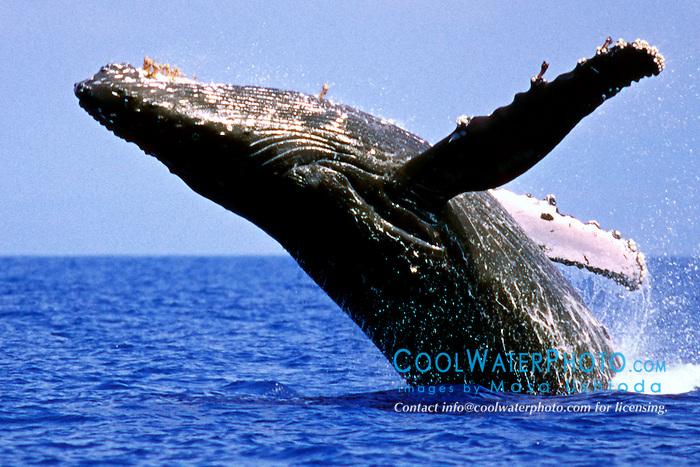 humpback whale breaching, .Megaptera novaeangliae, .Hawaii (Pacific).