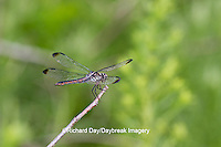 06620-00705 Slaty Skimmer (Libellula incesta) female perched near wetland Marion Co. IL