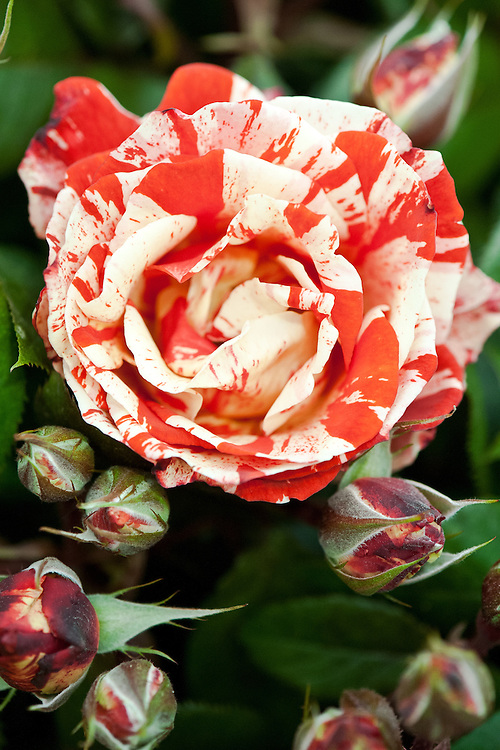 Rosa Hanky Panky ('Wektorcent'), early July. A compact Floribunda shrub rose, with orange-red flowers streaked in mottled white or cream.