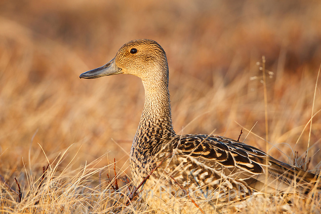 Northern Pintail (Anas acuta) female prospecting for nest sites early in the breeding season. Chukotka, Russia. May.