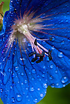 Blue flower and raindrops