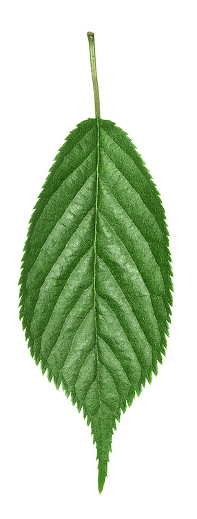Hybrid Cherry leaf. Many hybrid cherry cultivars have been developed. Many are favoured in municipal gardens and as street trees. The following are particularly popular cultivars: Prunus 'Umineko' with upright to spreading branches, ovate leaves that are toothed and long-tipped, and white flowers that appear just as the leaves are bursting; Prunus 'Pandora' with upright and spreading branches, oval and toothed leaves and dull pink flowers; Prunus 'Spire' with an extremely erect habit, broadly oval leaves with a slender tip and toothed margins, and dull pink flowers; Prunus 'Accolade' with a densely spreading habit, oval to elliptical leaves with toothed margins, and bright pink flowers.