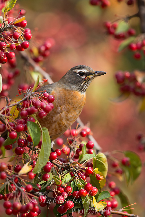 American Robin (Turdus migratorius migratorius), Eastern subspecies, female, feeding on red berries in Central Park in New York City, New York in the Fall.