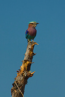 Lilac Breasted Roller perched on a tree in the Okavango Delta, Botswana Africa.