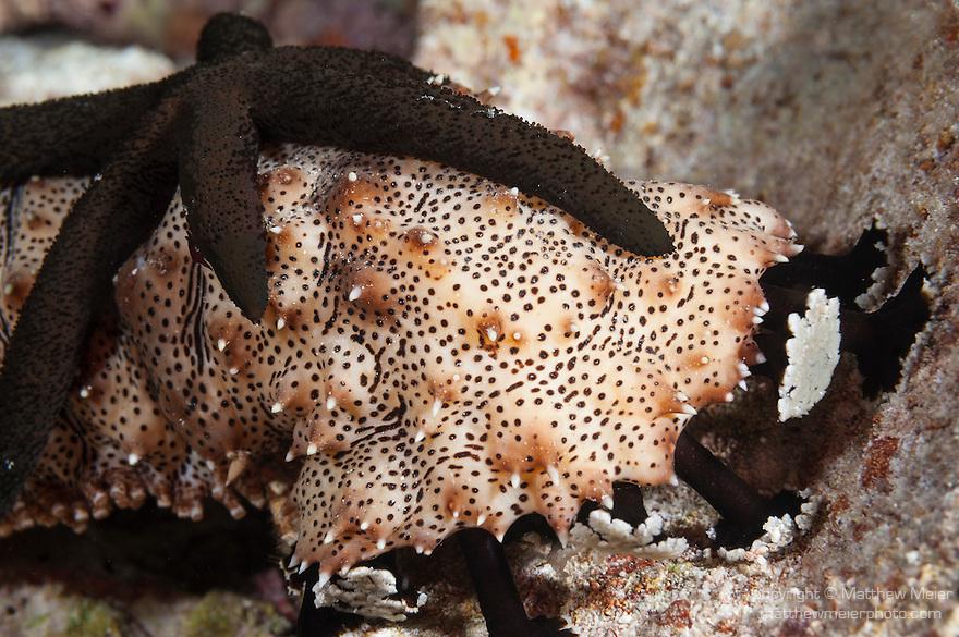 Misool, Raja Ampat, Indonesia; Yilliet area, a Sea Cucumber (Bohadschia graeffei) with a sea star riding on it's back