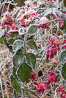 Rose bush in winter frost snow (Rosa) . Rime on edges