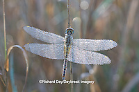 06644-00119  Wandering Glider dragonfly (Pantala flavescens) in early morning dew, Marion Co. IL
