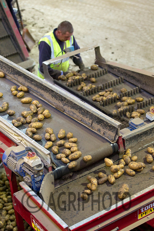 Grading potatoes ready for storage..Picture by Tim Scrivener date taken 8th October 2012.mobile 07850 303986 e-mail tim@agriphoto.com.....covering agriculture in The United Kingdom....