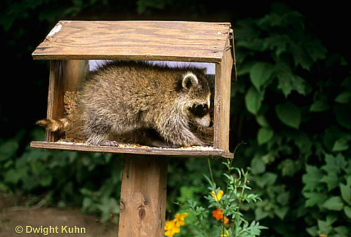 MA22-016x  Raccoon - young raccoon exploring bird feeder  - Procyon lotor