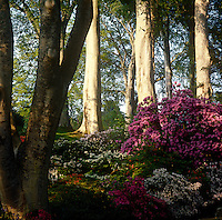 Rhododendrons and azaleas flourish in the warmth of Spring in the 'woodland garden' at Bodnant