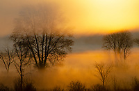 Trees seem to grow out of the fog and mist of a morning sunrise at Phyllis Haehnle Memorial Sanctuary, Jackson County, Michigan