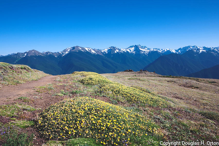 Buttercup enhance the view south from the Deer Park Campgound, on Blue Mountain, from the Rainshadow Trail.  Mt. Olympus, Hayden Pass, the Gray Wolf River and Cammeron Creek valleys in distance.  Olymppic National Park.  Olympic Penninsula, Washington.  Outdoor Adventure. Olympic Peninsula