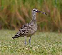 Adult whimbrel