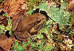 Red-legged frog, Hoh Rainforest, Olympic National Park, Washington