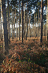 Coniferous trees, Forestry Commission, Rendlesham forest, Suffolk, England