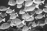 Punta Cormoran, Floreana Island, Galapagos, Ecuador; a polarized school of Razor Surgeonfish (Prionurus laticlavius) swim over the rocky reef