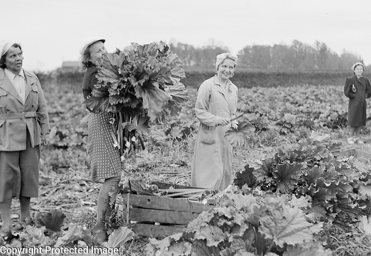 Schoolgirls working in the countryside on food production during the Second World war, Finland, 1942