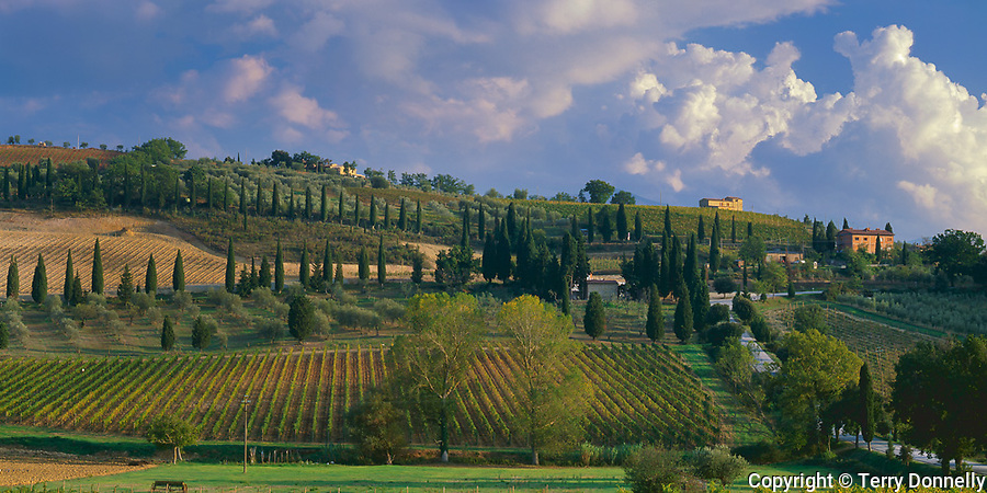 Tuscany, Italy:  A country road dotted with cypress trees curves through a patchwork of vineyards of the Val d'Orcia near the village of Castelnuovo dell'Abate
