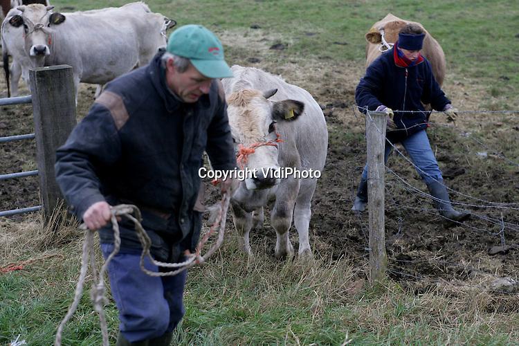 Foto: VidiPhoto..OOSTERHOUT - In het Gelderse Oosterhout haalt hobbyboerin Joke van Kesteren, met behulp van een kennis, haar Piemontese runderen naar binnen. Het wordt nu te koud voor de dieren. Bovendien bevat het gras geen enkele voedingswaarde meer. De koeien moesten de .afgelopen weken al bijgevoerd worden met hooi en voederkoeken. Van Kesteren houdt de dieren om mee te fokken. Vrijwel alle runderen zijn nu uit de weilanden.