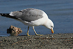 California gull feeding on brine flies at Mono Lake