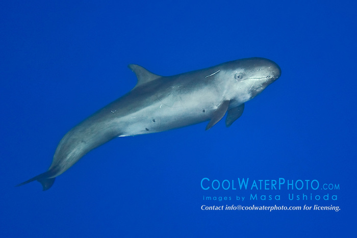 false killer whale, Pseudorca cassidens, juvenile, Kona Coast, Big Island, Hawaii, Pacific Ocean