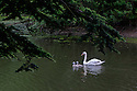 A Pen and her two cygnets in the lake at Wanstead Park, Redbridge, London.