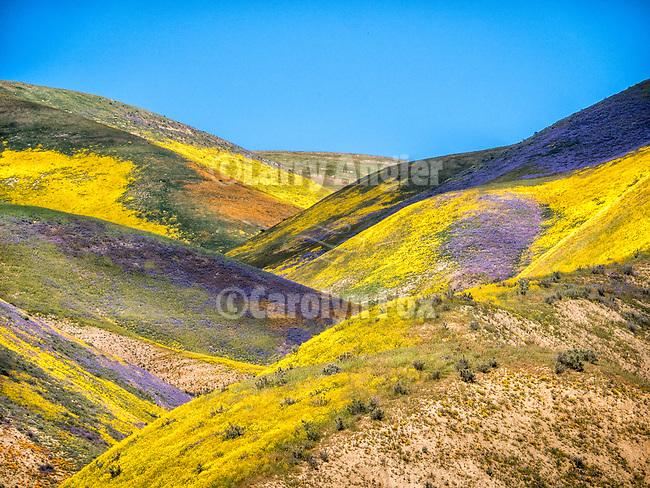 Colorful wildflowers cover the Temblor Range, Carrizo Plain National Monument, San Luis Obispo County, Calif.
