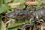American Alligator, Alligator mississippiensis, young baby Everglades National Park, predator.USA....