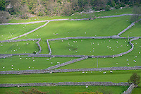 Distant view of stone walls, Kettlewell, North Yorkshire with grass fields and sheep.