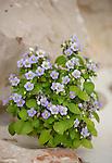 .Socotra violet endemic; Socotra Yemen