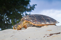 hawksbill sea turtle, Eretmochelys imbricata, returning to the sea after nesting during daylight hours, Bird Island, Seychelles, Indian Ocean