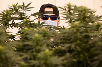 Workers trim cannabis plants in at the production and packaging facility for Garden Remedies, a medical cannabis producer, in Fitchburg, Massachusetts, USA, on Fri., Feb. 22, 2019. The lower end of the plants is trimmed to encourage leaf and flower growth at the top of the plants in a pruning process sometimes called lollipopping.