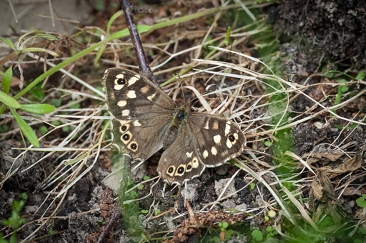 Speckled Wood butterfly (Pararge aegeria), early June.