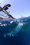 A whale shark, Rhincodon typus, feeds on small fish being fed to it from a fisherman on a bagan, a type of traditional fishing vessel, Cendrawasih Bay, Papua Province, Indonesia, Pacific Ocean