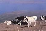 Holstein cattle and Tomales Bay
