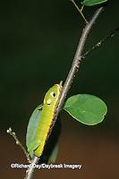 03029-010.14 Spicebush Swallowtail (Papilio troilus) caterpillar on Spicebush (Benzoin aestivale)  Marion Co.  IL