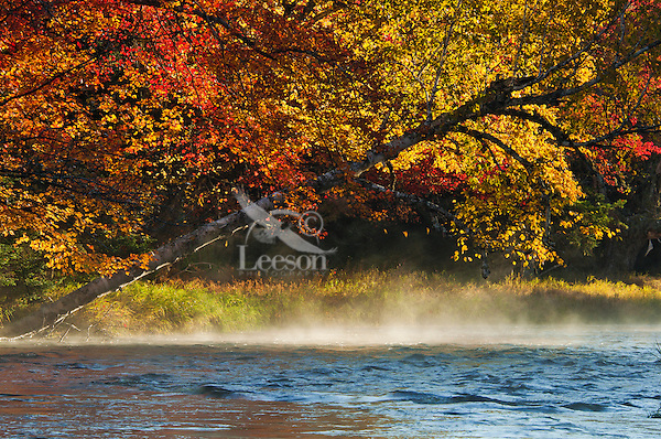 Yellow birch (Betula alleghaniensis), Sugar maple (Acer saccharum) & morning mist along Mersey River, fall, Kejimkujik NP, Nova Scotia, Canada.