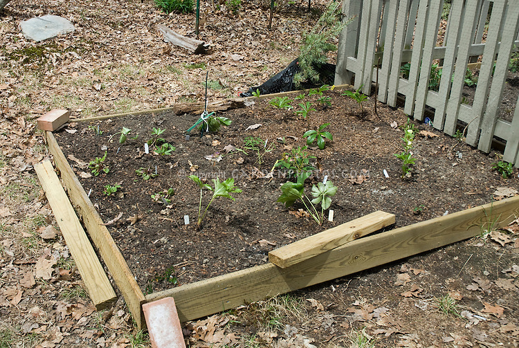 Building a new raised garden next to a picket fence using lumber, with young new plants such as hellebores being planted into the ground into new soil