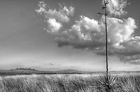 Desert Yucca - Arizona (BW)