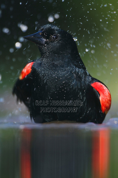 Red-winged Blackbird (Agelaius phoeniceus),male bathing, Rio Grande Valley, Texas, USA