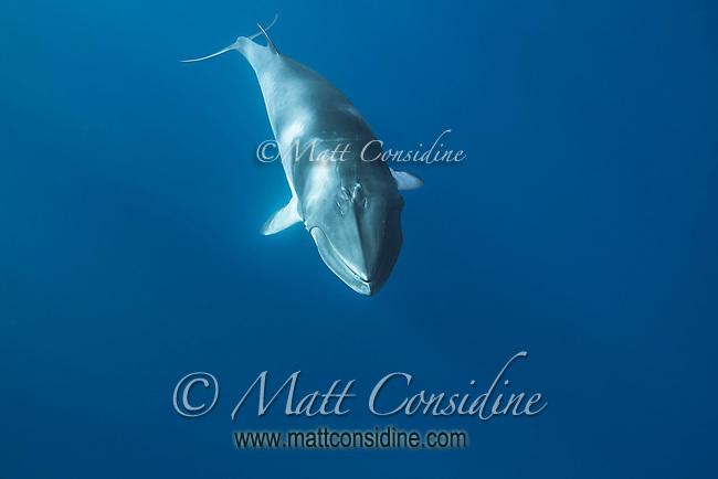 Minke Whale in Blue Space. (Photo by Wildlife Photographer Matt Considine)