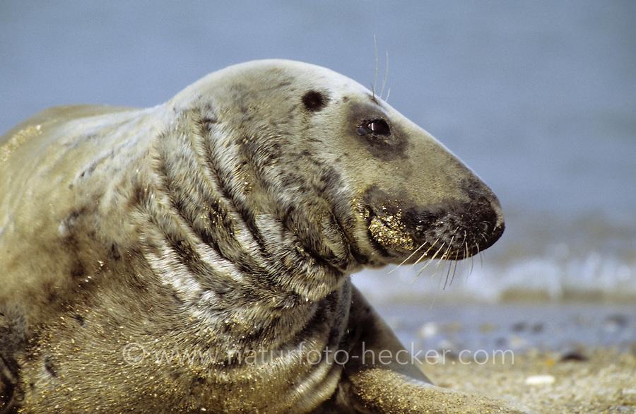 Kegelrobbe, Portrait, Kegel-Robbe, Robbe, Halichoerus grypus, gray seal