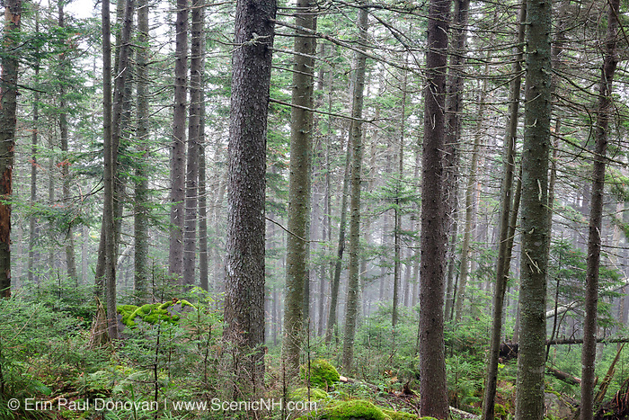 Softwood forest on the northern slopes of Mount Jim in Kinsman Notch of Woodstock, New Hampshire USA during the summer months.