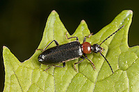 Fire-Colored Beetle (Pedilus lugubris), West Harrison, Westchester County, New York